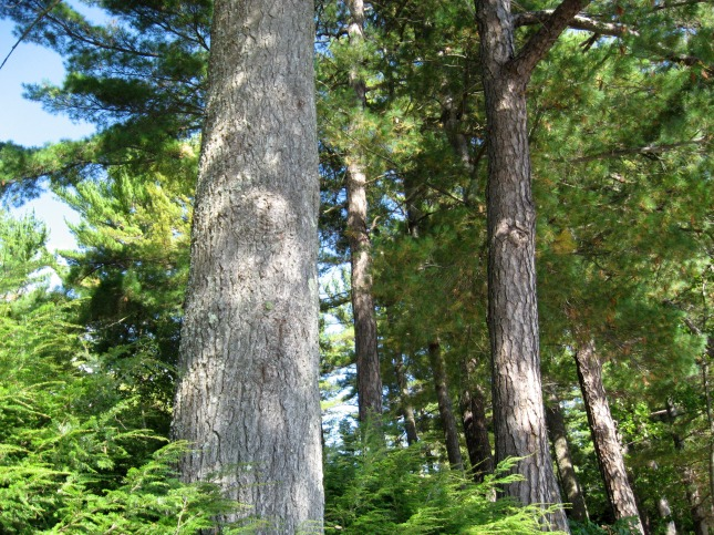 Tall NH Trees