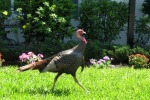 Wild Turkeys in Our Neighborhood