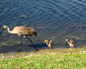 sandhill crane and babies