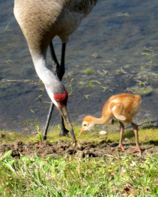 baby sandhill crane feeding