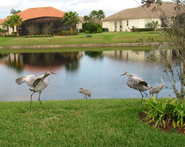 dancing sand hill cranes
