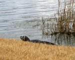 small gator in Poinciana