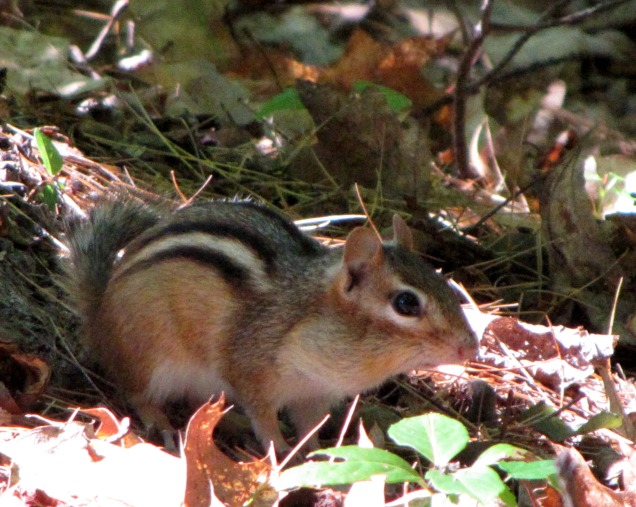 Eastern Chipmunk in New Hampshire