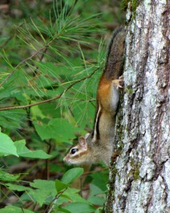 Chipmunks are great tree climbers.
